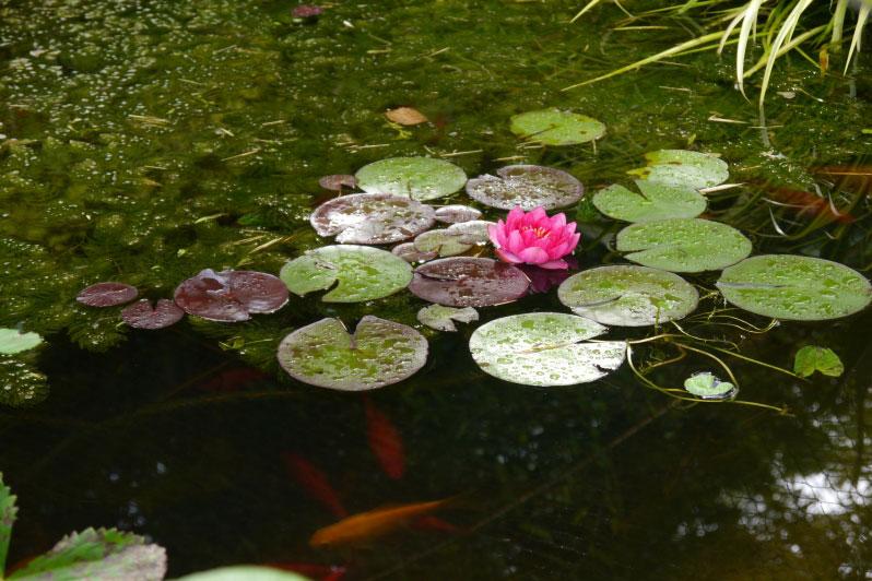 Cottage Garden Fish Pond